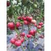 定西番茄种苗 育千禧小水果西红柿苗