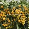 陇南圣女果西红柿苗 千禧西红柿苗基地